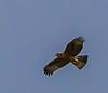 Verreaux's Eagle (Imm) (Witkruisarend)