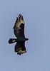 Verreaux's Eagle (Witkruisarend)