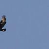 Verreaux's Eagle (Ad, Imm) (Witkruisarend)