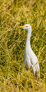 Intermediate (Yellow-billed) Egret (Geelbekwitreier)