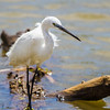 Little Egret (Kleinwitreier)