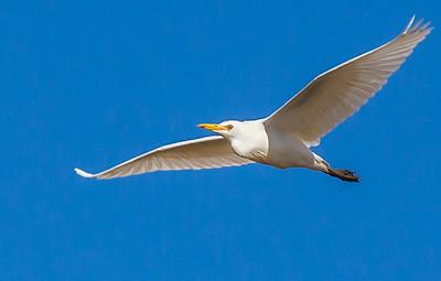 Western Cattle Egret (Veereier)