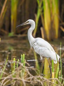 Western Great Egret (Groot Witreier)