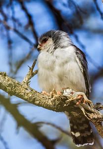 Pygmy Falcon (F) (Dwergvalk )