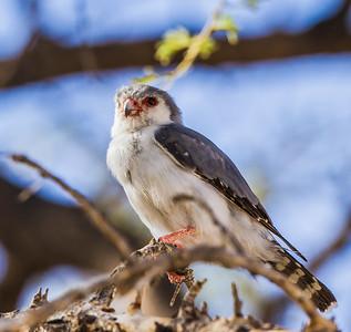Pygmy Falcon (M) (Dwergvalk )