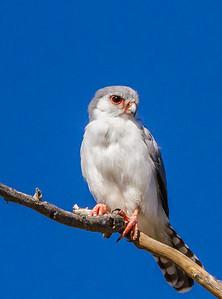 Pygmy Falcon (Dwergvalk )