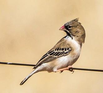 Scaly-feathered Finch (Weaver) (Baardmannetjie)
