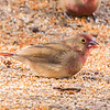Red-billed Firefinch (M) (Rooibekvuurvinkie)