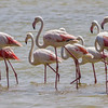 Greater Flamingo, Grootflamink