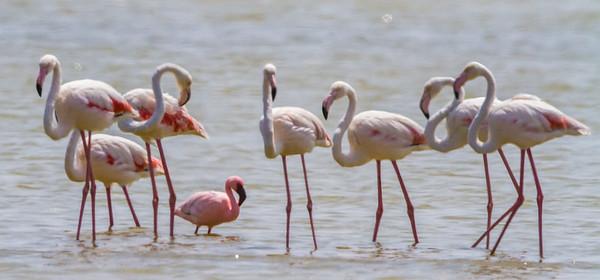 Lesser Flamingo (Kleinflamink)