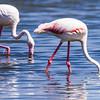 Greater Flamingo, Grootflamink