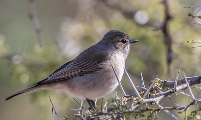 Ashy Flycatcher (Blougrysvlieëvanger)
