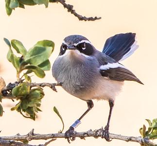 Fairy Flycatcher (Feevlieëvanger)