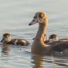 Egyptian Goose (A, Juv)(Kolgans)