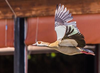 Egyptian Goose (Kolgans)