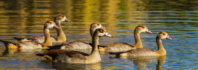 Egyptian Goose (Ad, Imm) (Kolgans)