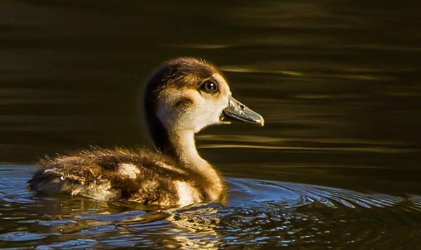Egyptian Goose (Imm) (Kolgans)