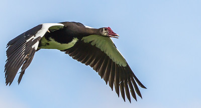 Spur-winged Goose (M) (Wildemakou)