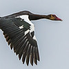 Spur-winged Goose (Wildemakou)