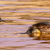 Black-necked Grebe (Swartnekdobbertjie)