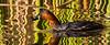 Little Grebe (Kleindobbertjie)