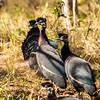 Crested Guineafowl (Kuifkoptarentaal) Mkuze GR July 2013