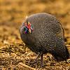 Helmeted Guineafowl (Gewone tarentaal)