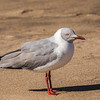 Grey-headed Gull (Gryskopmeeu)