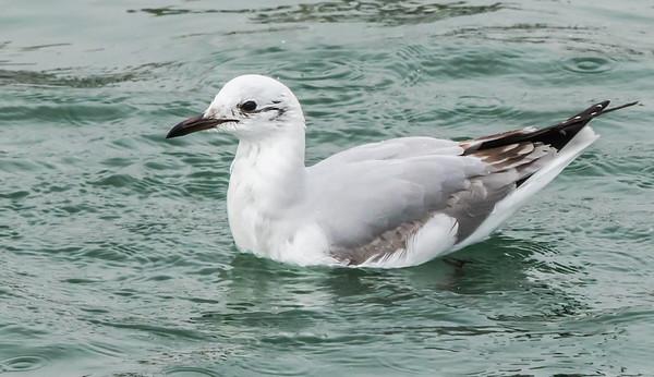 Grey-headed Gull (Imm) (Gryskopmeeu)