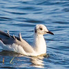 Grey-headed Gull (Imm) (Gryskopmeeu)