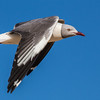Grey-headed Gull (Gryskopmeeu)