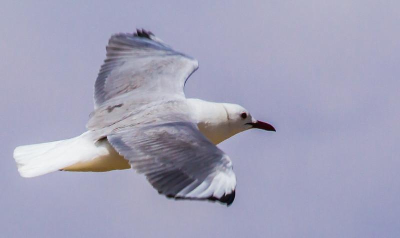 Hartlaub's Gull (Hartlaubse meeu)