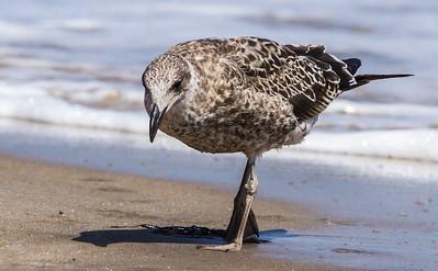 Kelp Gull (Imm) (Kelpmeeu)