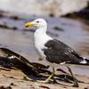 Kelp Gull (Kelpmeeu)