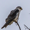 Black-winged Kite (Blouvalk)