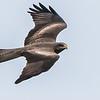 Yellow-billed Kite (Geelbekwou)