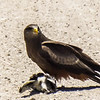 Yellow-billed Kite (Geelbekwou)