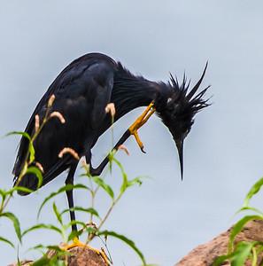 Black Heron (Swartreier)