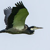 Black-headed Heron (Swartkopreier)