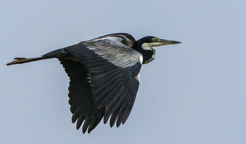 Black-headed Heron (Swartkopreier)