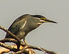 Green-backed Heron (Groenrugreier)