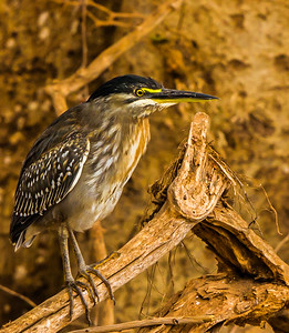 Green-backed Heron (Groenrugreier)