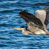 Grey Heron (Bloureier)