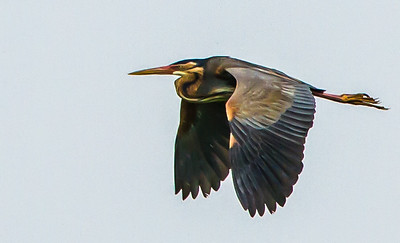 Purple Heron (Rooireier)