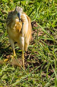 Squacco Heron (Ralreier)