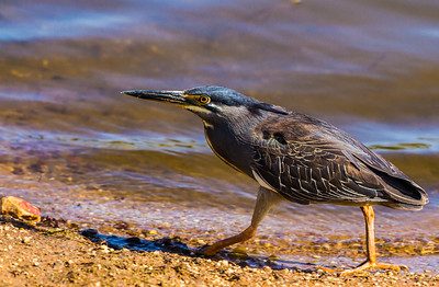 Striated Heron (Green-backed Heron)