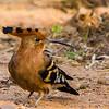 African Hoopoe (Hoephoep)