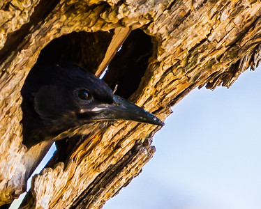 Green Wood-Hoopoe (Imm) (Rooibekkakelaar)