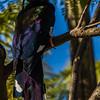 Green Wood-Hoopoe (Rooibekkakelaar)