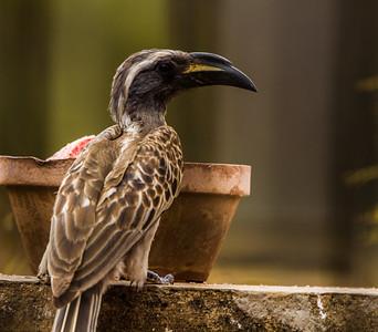African Grey Hornbill (M) (Grysneushoringvoël)